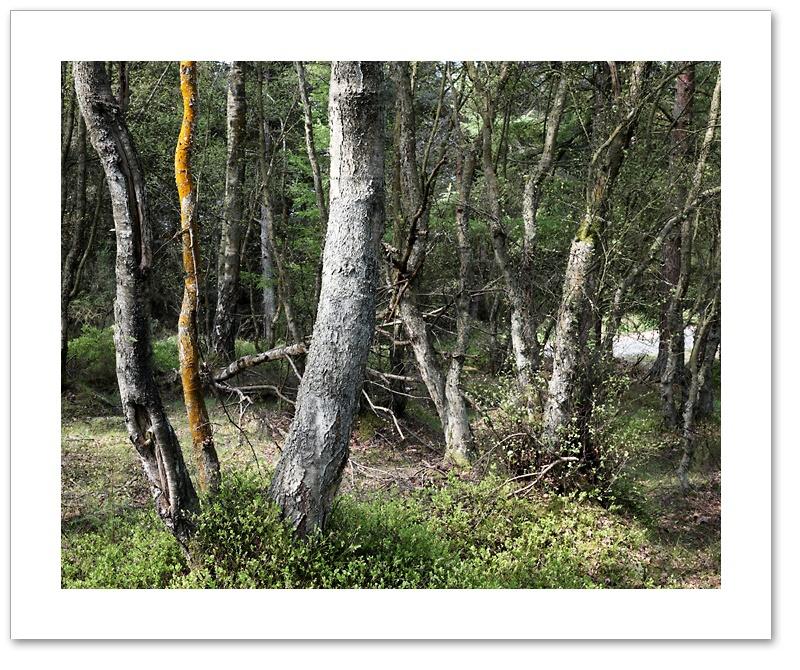Sidewinder, Devilla Forest, Fife