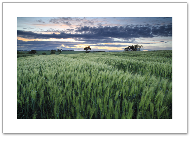 Field of barley, Crombie, Fife