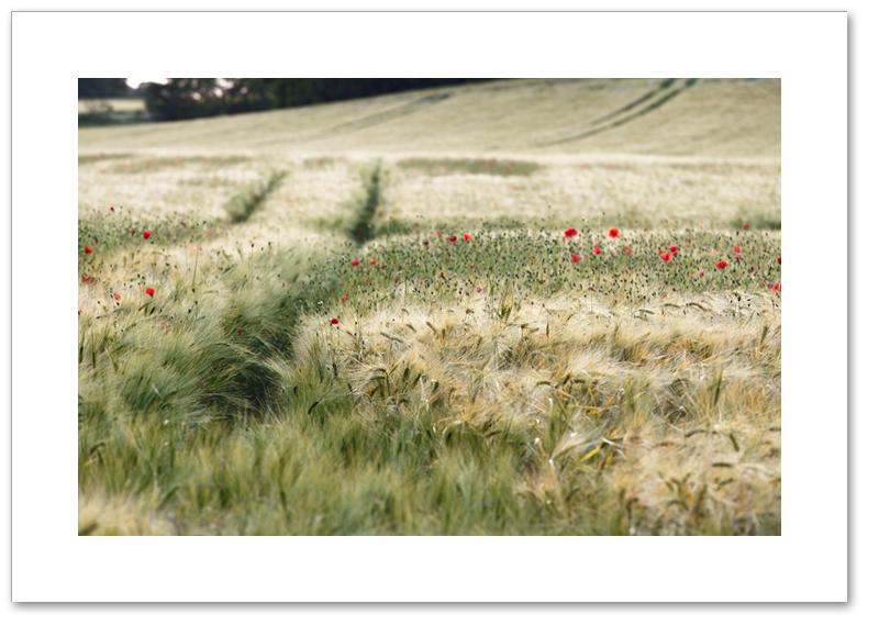 Barley and poppies, Pattiesmuir, Fife