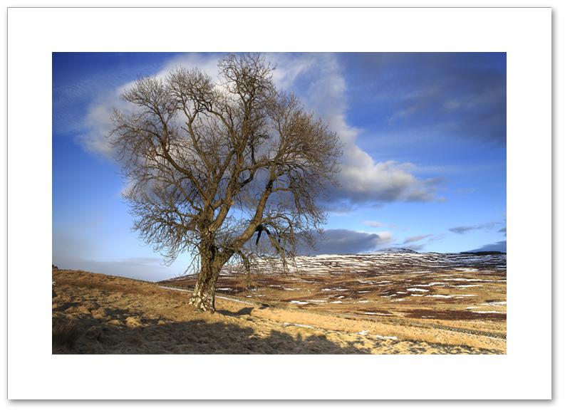 Tree of Badyo, Perthshire