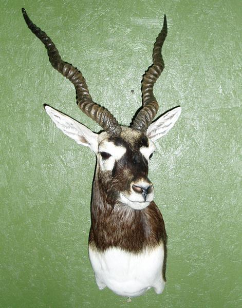JENKINS - Sheep/Antelope