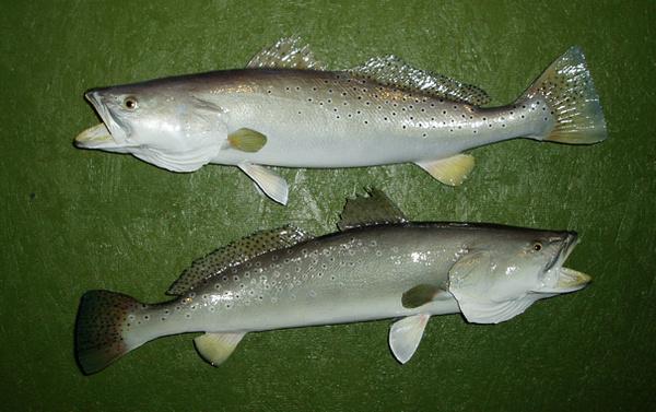 FAULKNER - Fish