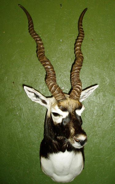 B. KATZ - Sheep/Antelope
