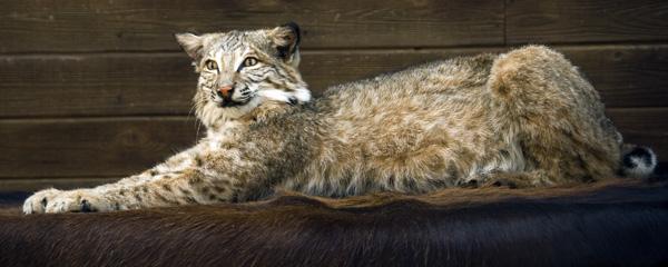 Bobcat -Chris Graves - Small Animals