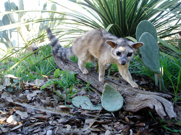 RINGTAIL CAT - MUELLER - Small Animals