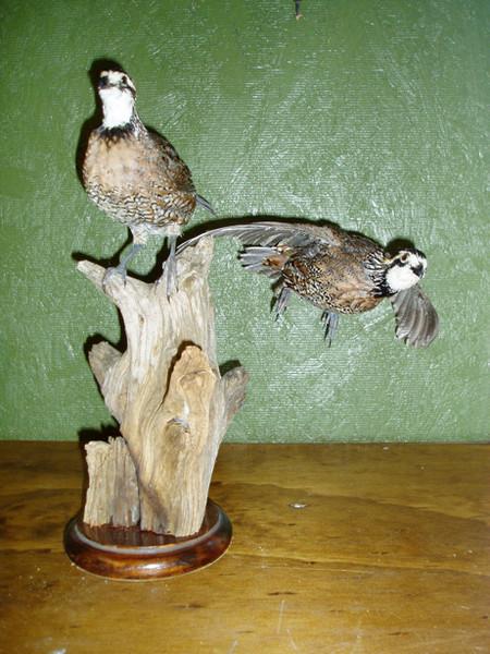QUAIL - Birds
