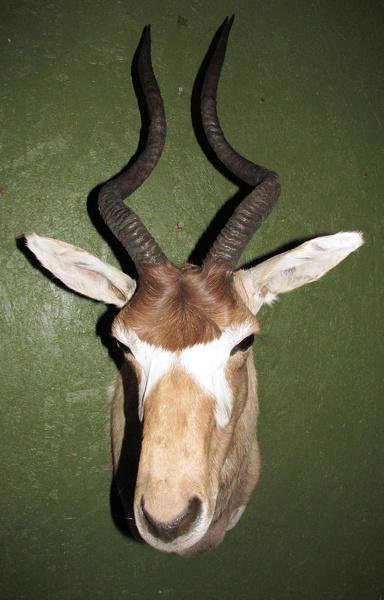 HENDRICKS - Sheep/Antelope