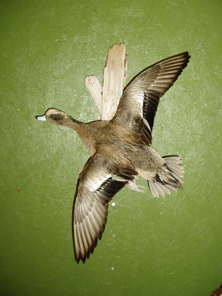 BREDA WIDGEON - Birds