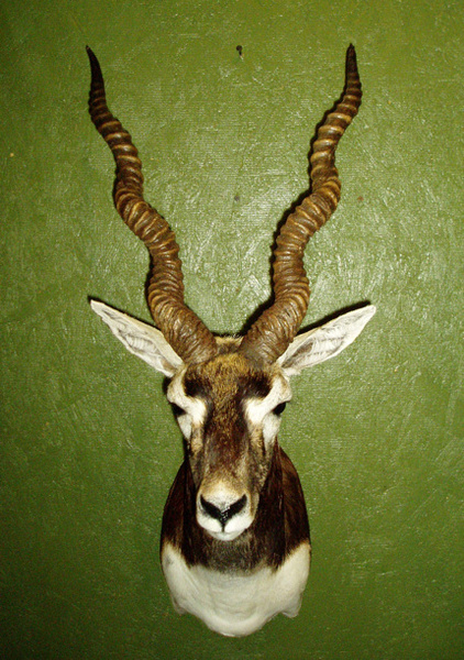 CRITTENTON - Sheep/Antelope