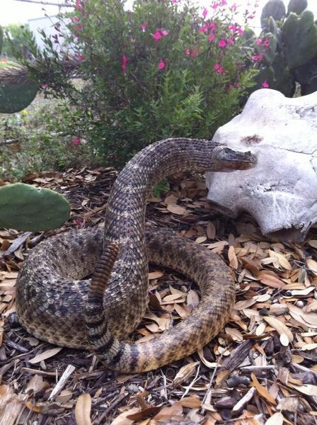 BARROW - Snakes