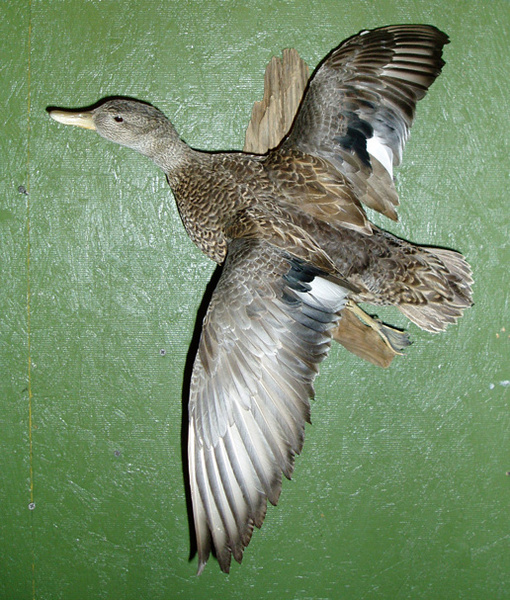 SMITH GADWALL HEN - Birds