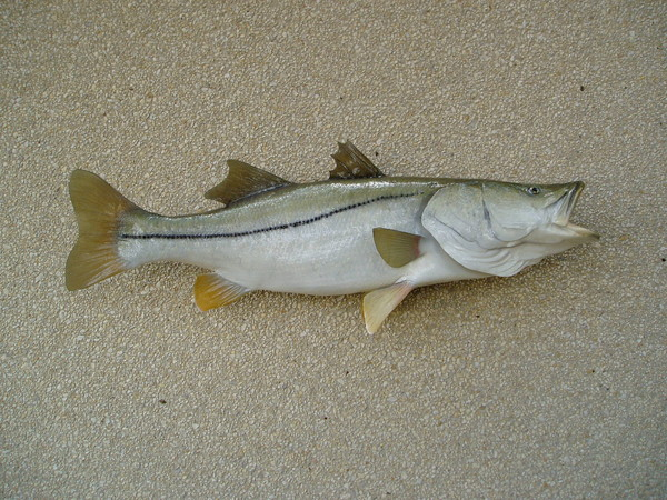 R. Hardy 44' Snook - Fish