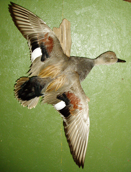 BRISENO - Birds