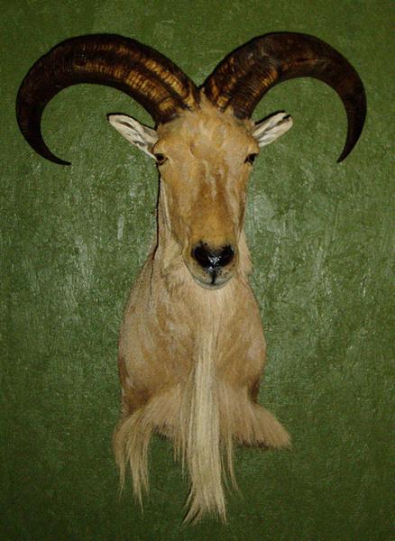 MARTINEZ - Sheep/Antelope