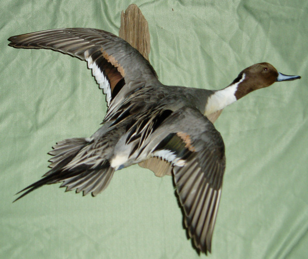 MY PINTAIL - Birds