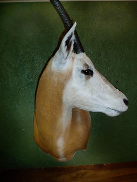 Oryx-Bannon - Sheep/Antelope