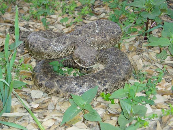 STEVE - Snakes