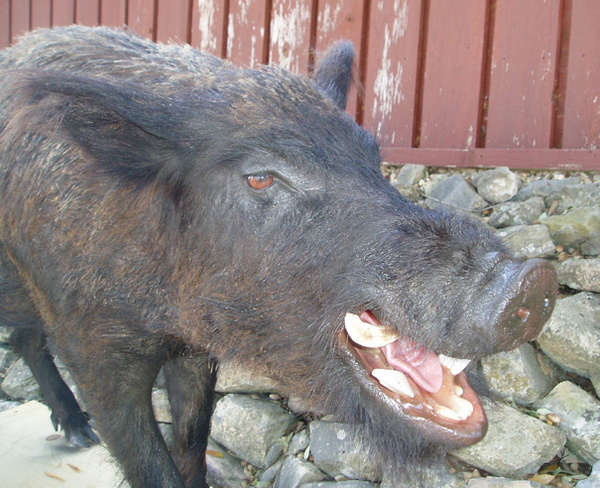 BILL MORRIS - Hogs and Javelina