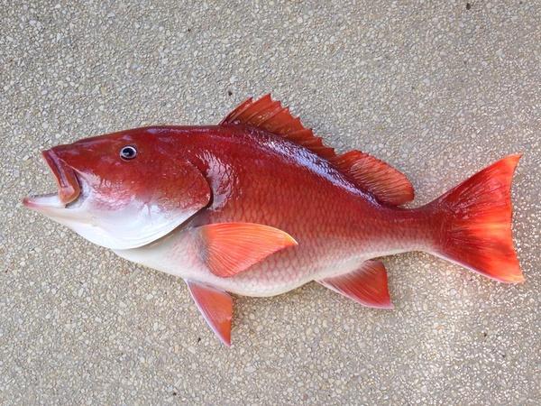 DAVIS 32' SNAPPER - Fish