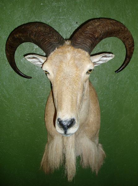 NEUFELD - Sheep/Antelope