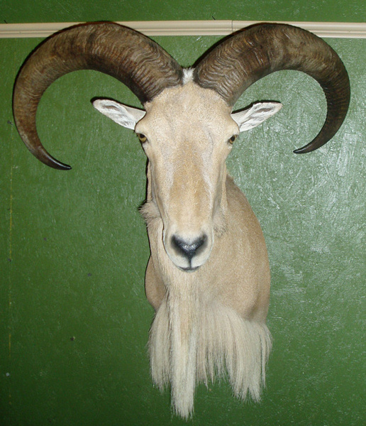KNIGHT - Sheep/Antelope