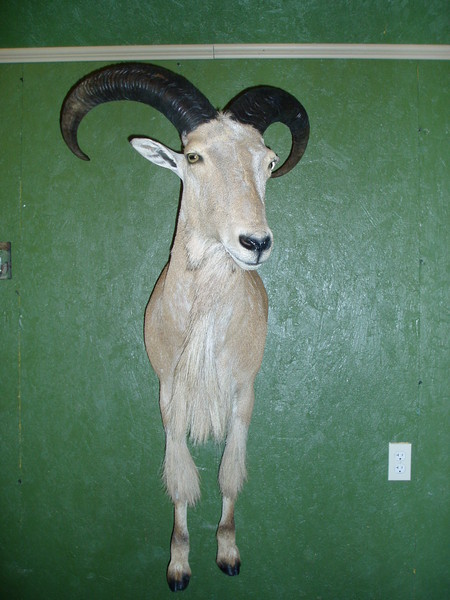 Aoudad - E. Donhauser - Lifesize & 1/2 Lifesize Large Animals