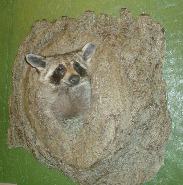 COON IN LOG - Small Animals