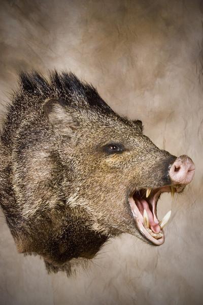 - Hogs and Javelina