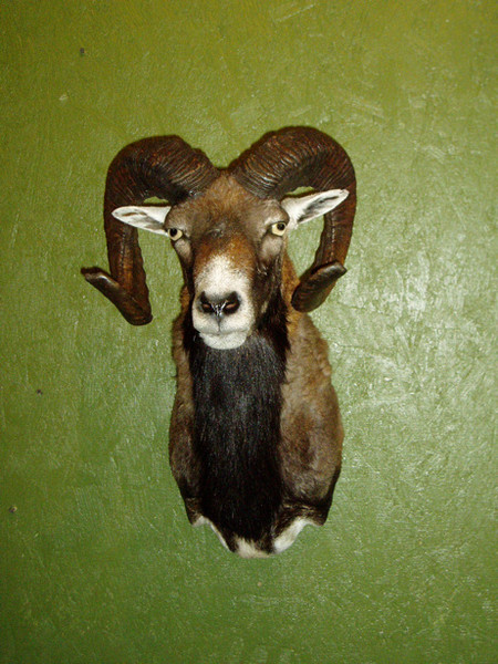 Mouflan-Arredondo - Sheep/Antelope