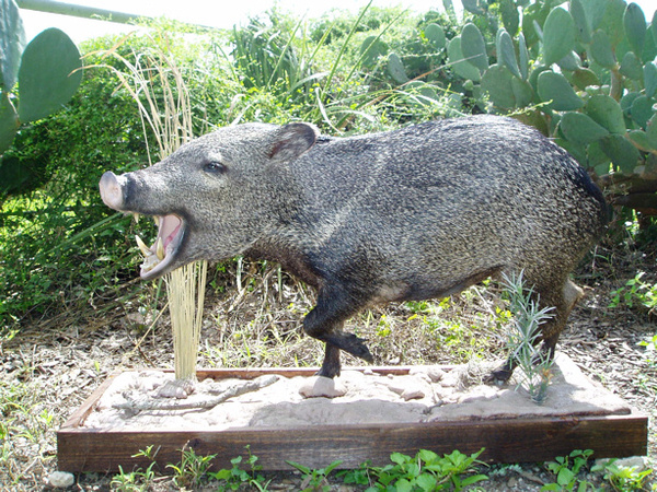 NALL - Hogs and Javelina