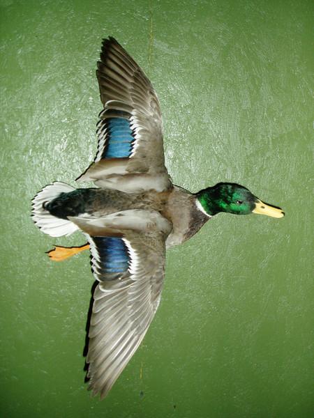LEO CANALES- MALLARD - Birds