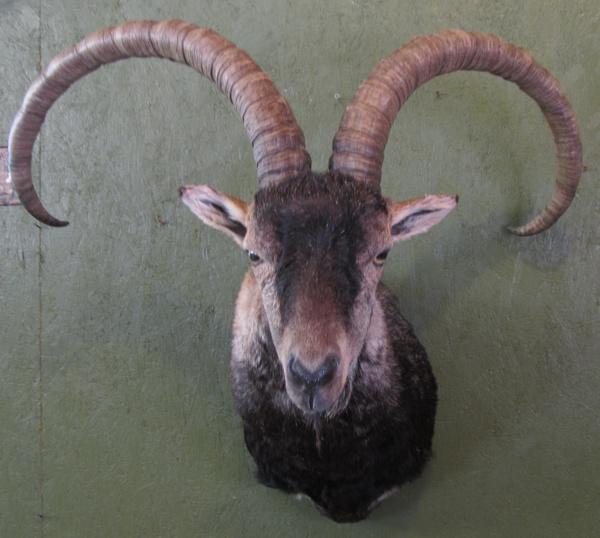 BOWLING GREDOS IBEX - Sheep/Antelope