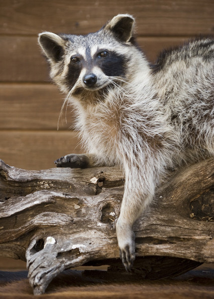 Raccoon-A. Flores - Small Animals