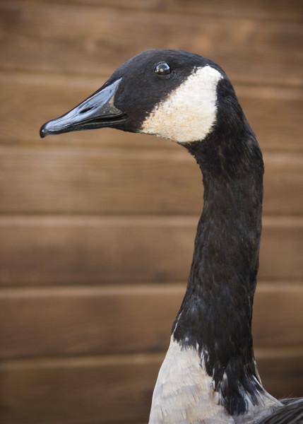 Canadian Goose-Chris Ullman - Birds
