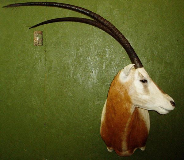 HARDWICK - Sheep/Antelope