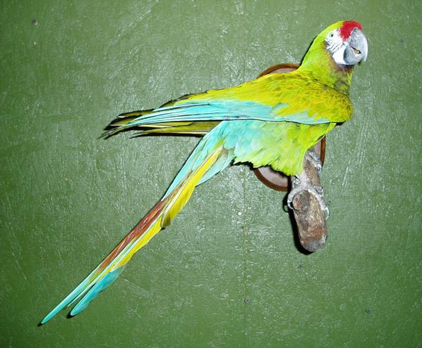 MACAW - Birds