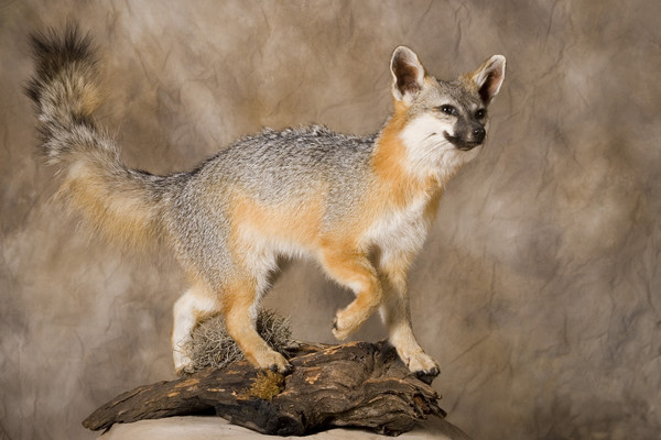 Gray Fox-Ralph Ornelas - Small Animals