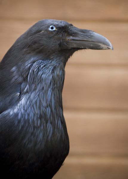 Crow - Birds