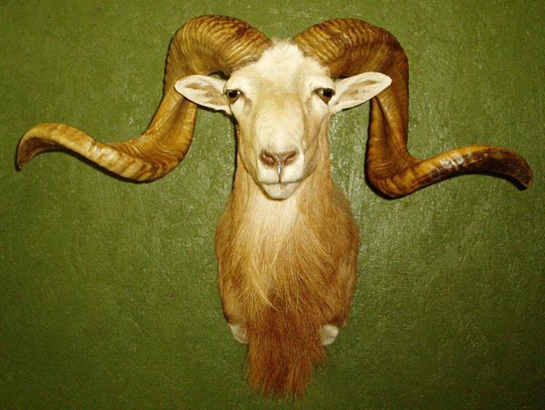 CATLETT - Sheep/Antelope