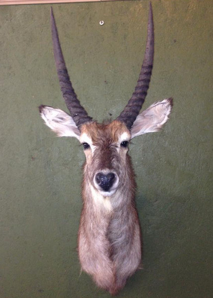 RENICK-WATERBUCK - Exotic/ African Shld Mounts