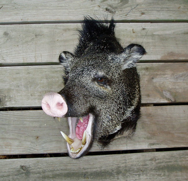 HENNIGAN - Hogs and Javelina