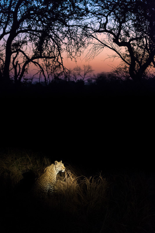 Leopard images and pictures