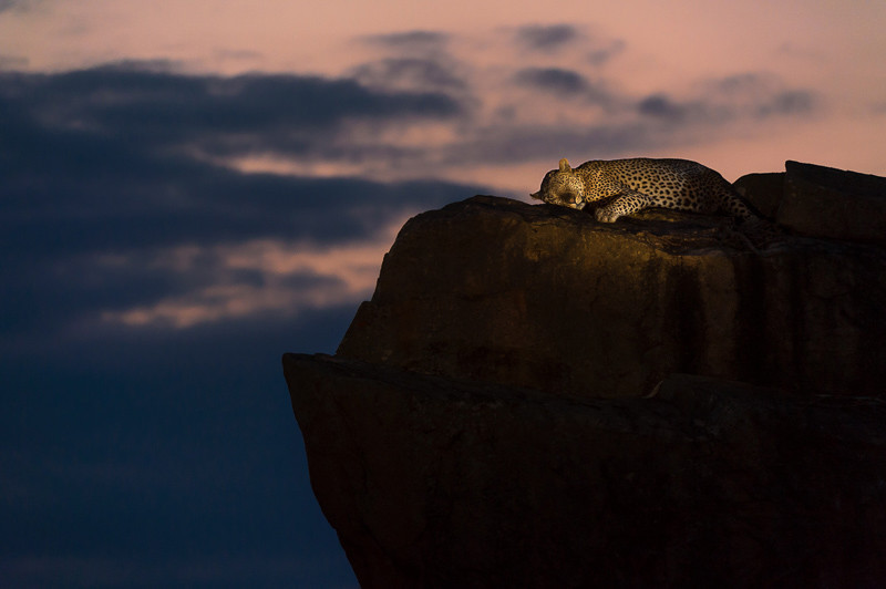 leopard dusk