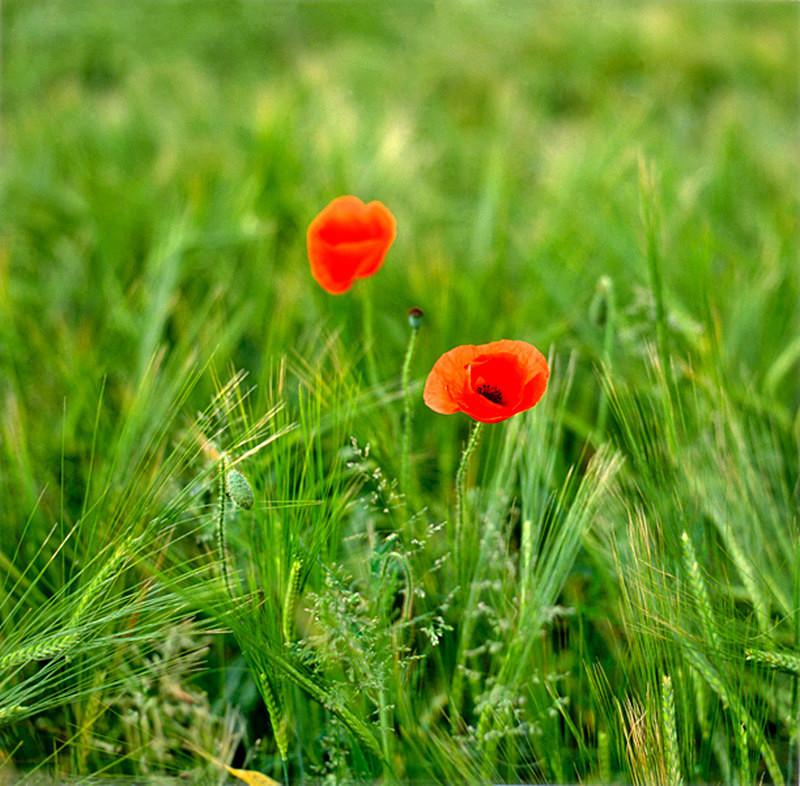 Barleyfield Poppies EDC127 - England