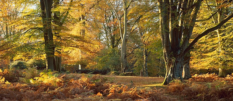 Majestic Beechwoods, Autumn, New Forest
