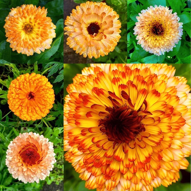 Calendula collection  EDC279  only available as a greeting card - England