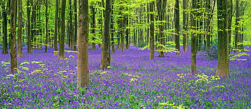 Bluebells - An English Spring - panoramic EDC257 - England