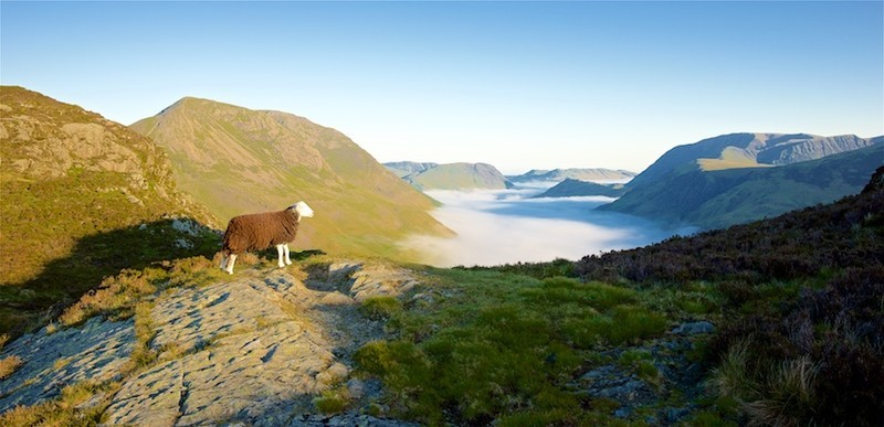 Sheep with a view, Buttermere EDC273 available as greeting card - Lake District