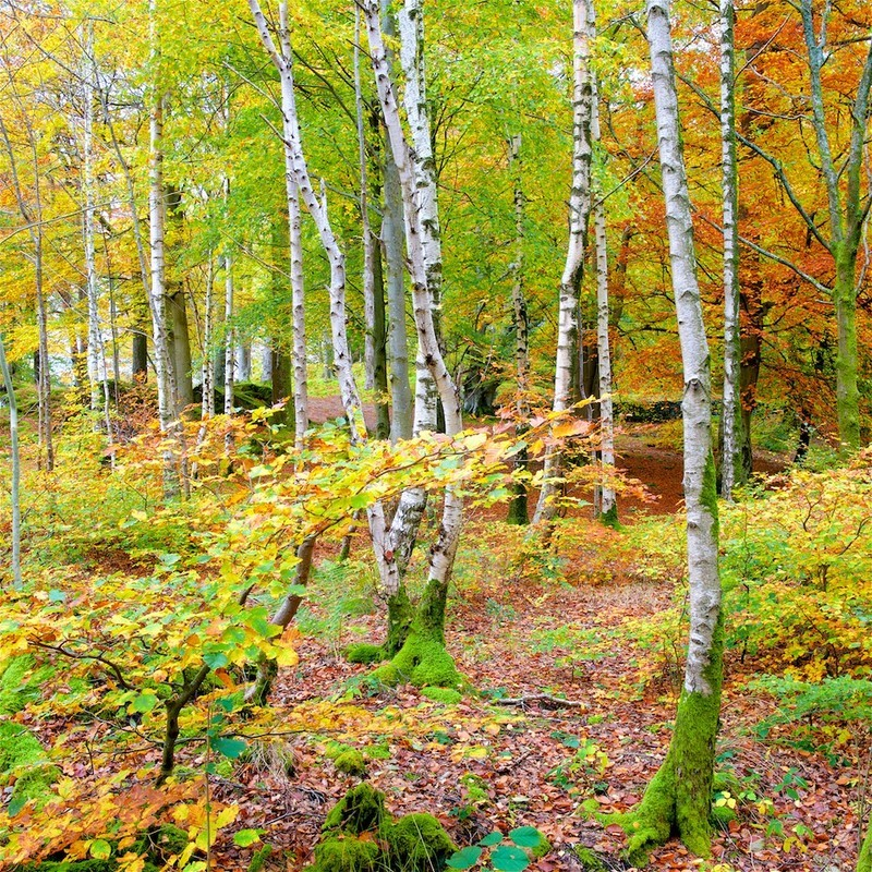 Birches and Beeches - an Autumn Wood. EDC 304 - England