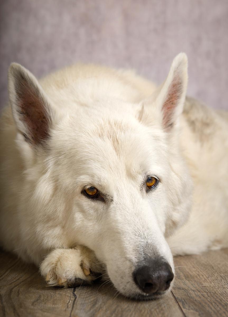 Diesel - Studio Pet Portraits